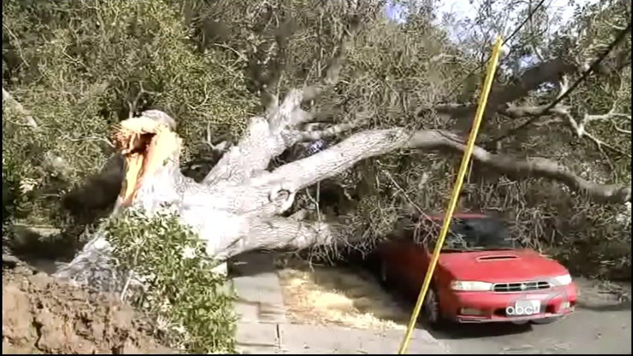 An oak tree is seen after falling on a car in Martinez, Calif. on Saturday, June 16, 2018.