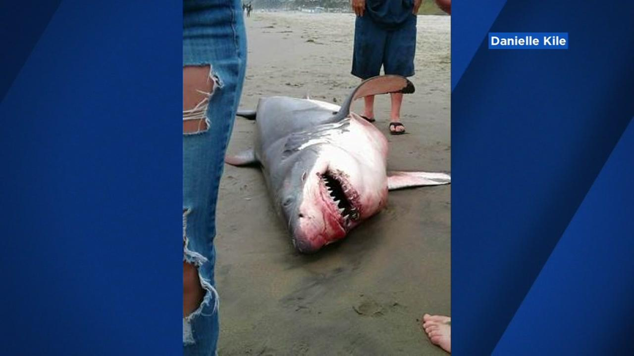 A shark washed ashore on a beach in Santa Cruz County, California on Sunday, June 17, 2018.