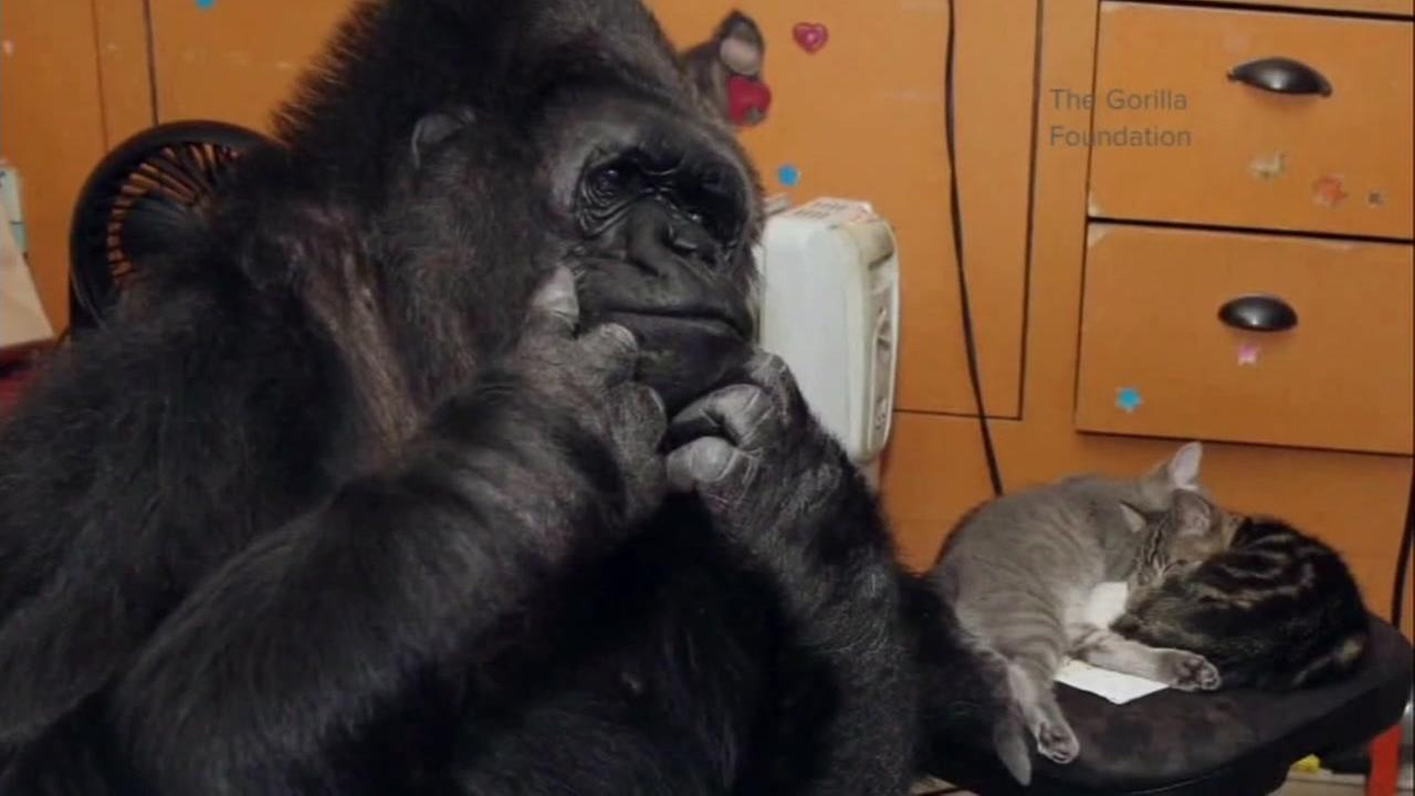 Koko the gorilla is pictured with a kitten in this photo provided by The Gorilla Foundation.