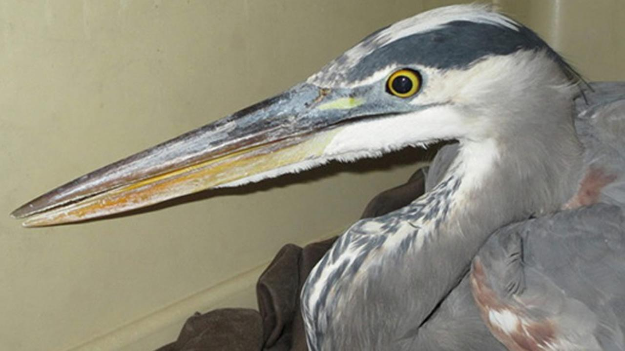Reward offered to find whoever is responsible for shooting a great blue heron.