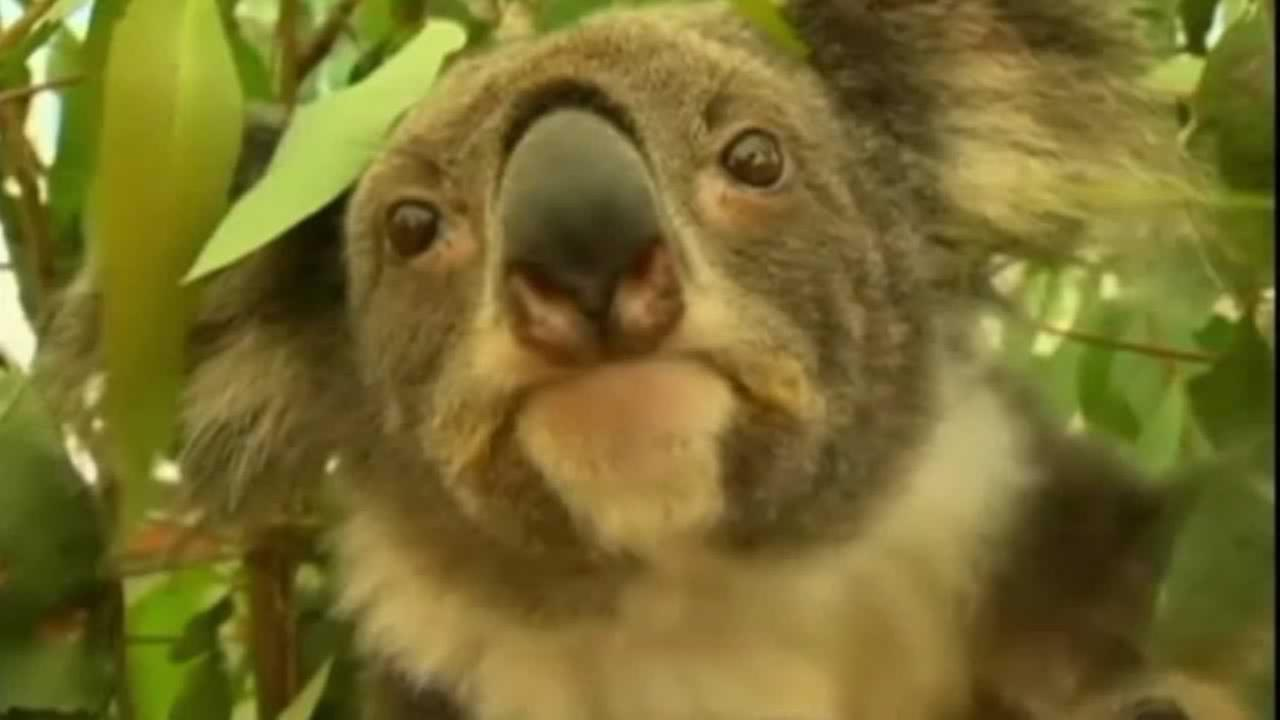 The worlds cutest marsupials are being trained for next weeks G20 Summit in Brisbane.