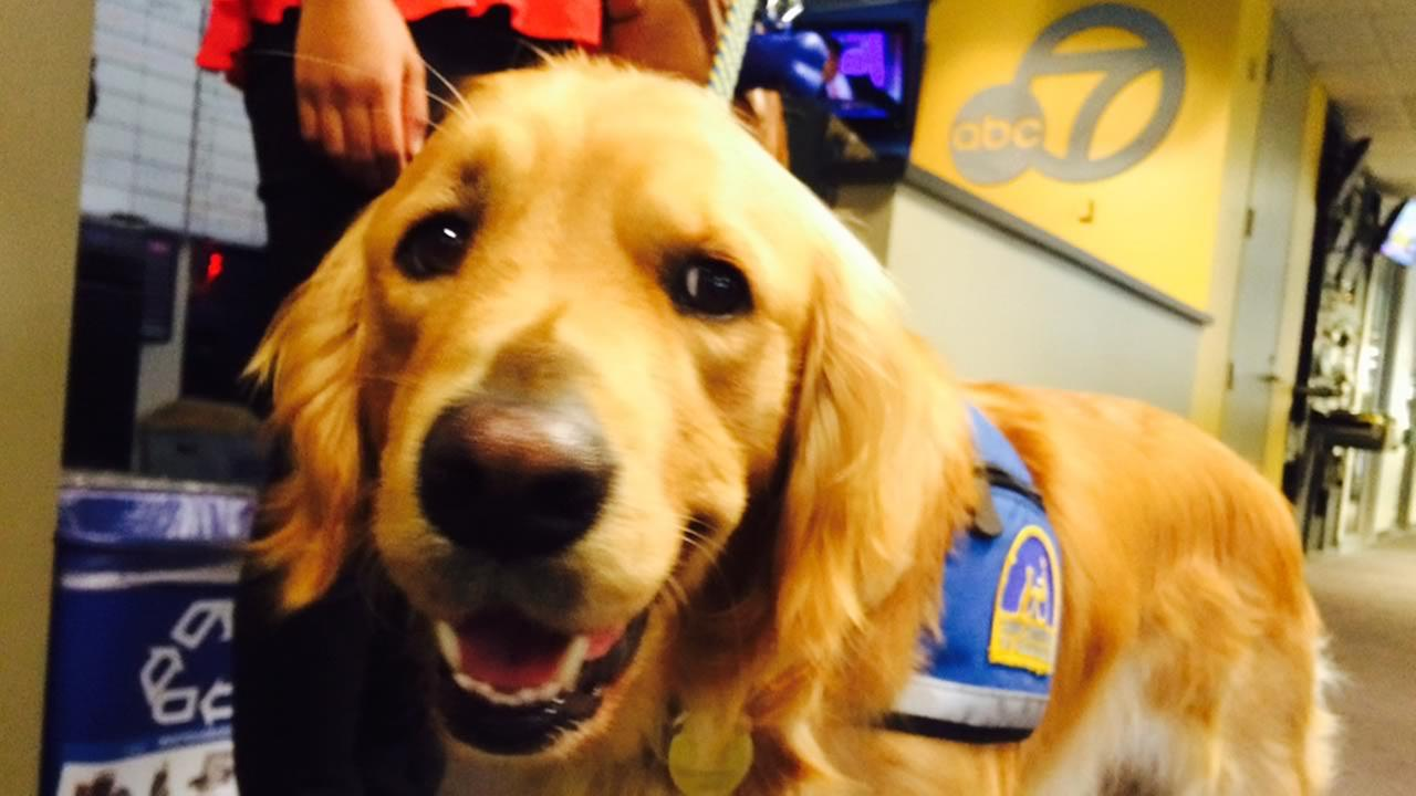 Faber, San Franciscos first courthouse dog, visited ABC7!