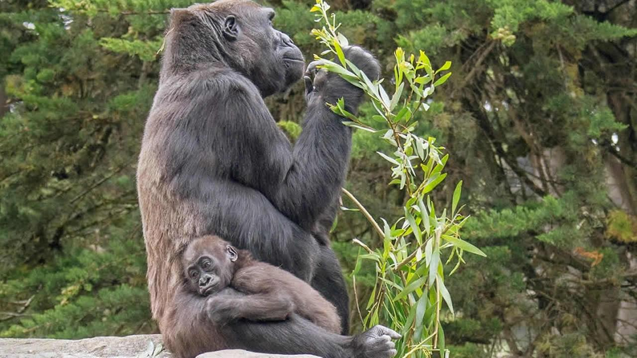This June 12, 2014 photo provided by the San Francisco Zoo shows their 15-month-old femals lowland gorilla named Kabibe with her grandmother, Bawang. (n)