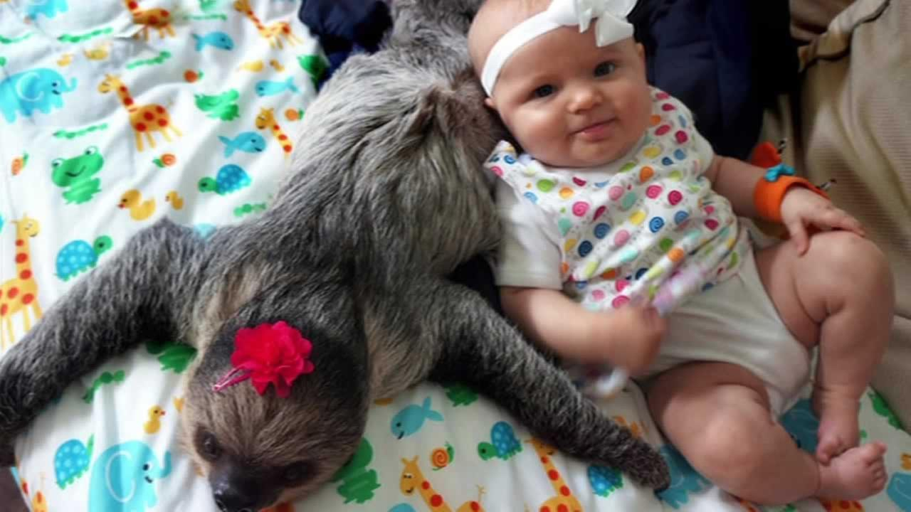 Five-month-old Alia and Daisy the sloth
