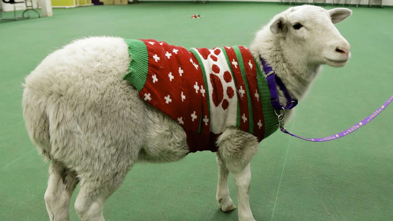 A sheep wearing a sweater stands with a leash at the Humane Society in Omaha, Neb. on Tuesday, Dec. 9, 2014. (AP Photo/Nati Harnik)