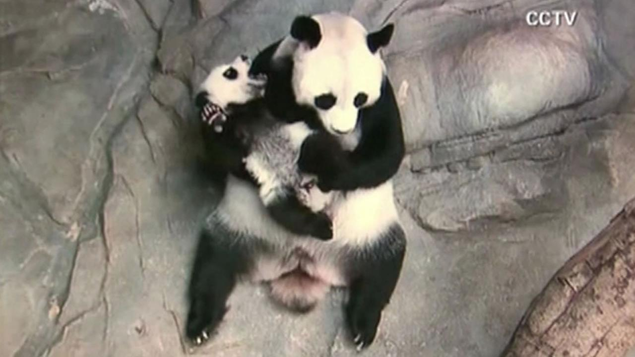 The worlds only surviving panda triplets met their mom for the first time.