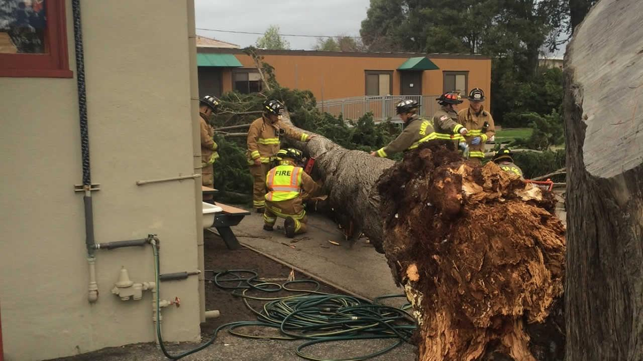 A 12-year-old was hospitalized after an 80-foot tree fell and trapped him for about 15 minutes at Gateway School in Santa Cruz on Thursday, Dec. 11, 2014.