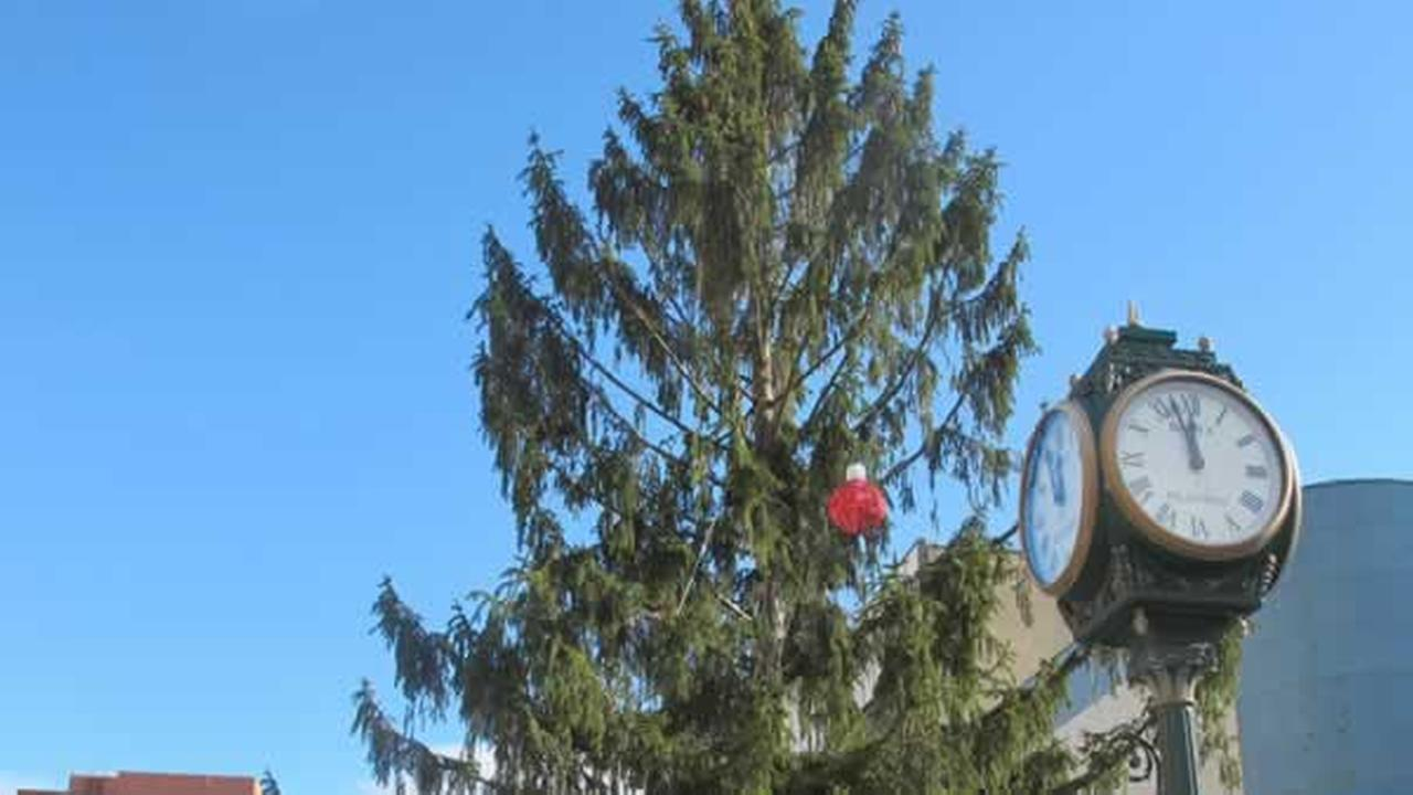 This Norway spruce has been compared to the scraggly tree in A Charlie Brown Christmas.