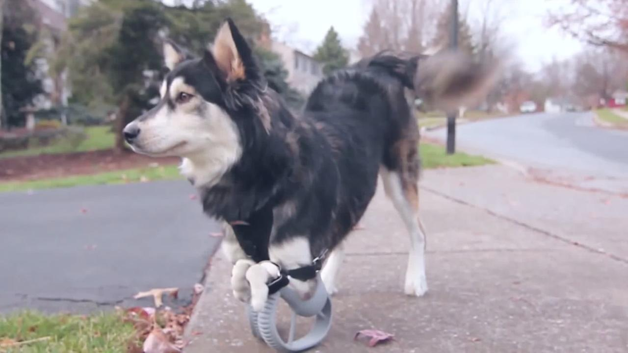 A dog named Derby was able to run for the first time thanks to 3-D-printed legs.