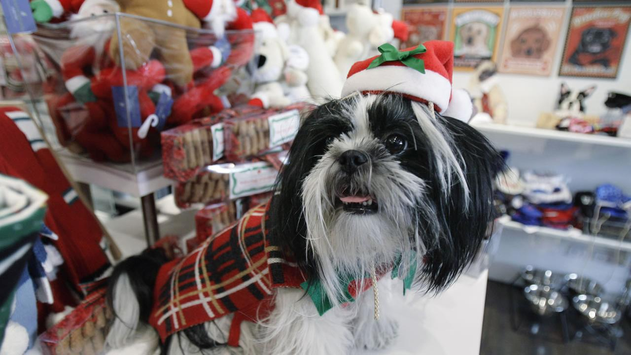 Coco, a five year old Shih Tzu models a Christmas outfit at Barker and Meowsky, a high-end pet store Friday, Nov. 9, 2007 in Chicago.