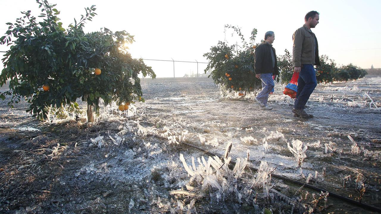 frozen citrus crop