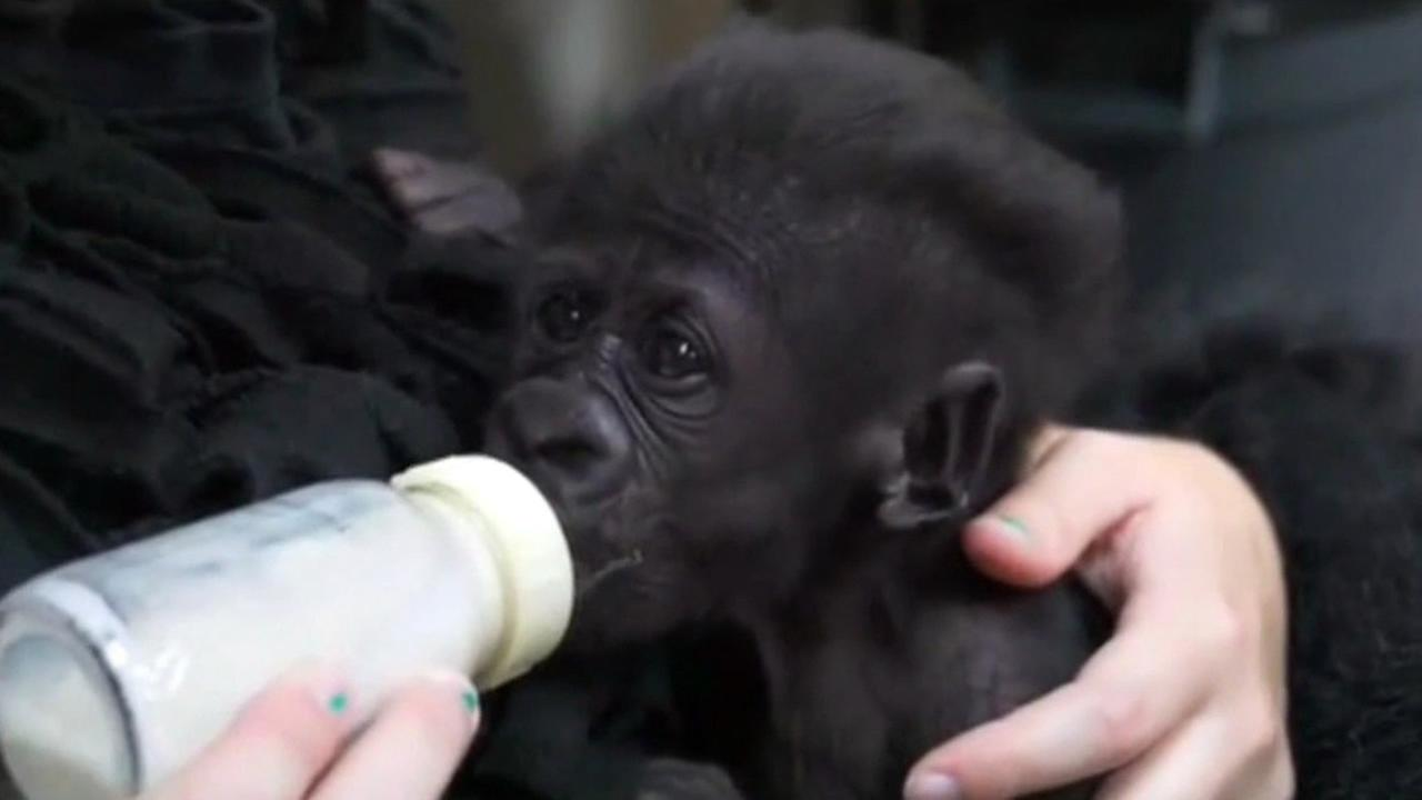 Baby gorilla Kamina drinks from a bottle.