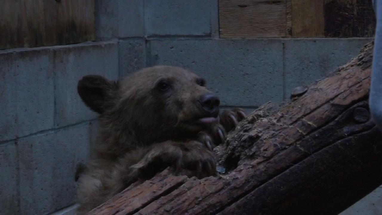 Heavenly, young bear that was rescued and released into the wild, is back in captivity after wandering back to the Heavenly ski resort.