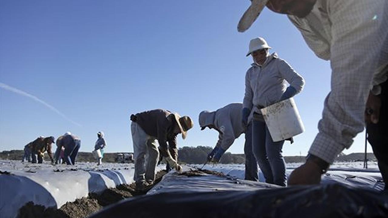 Workers plant strawberries in Watsonville,