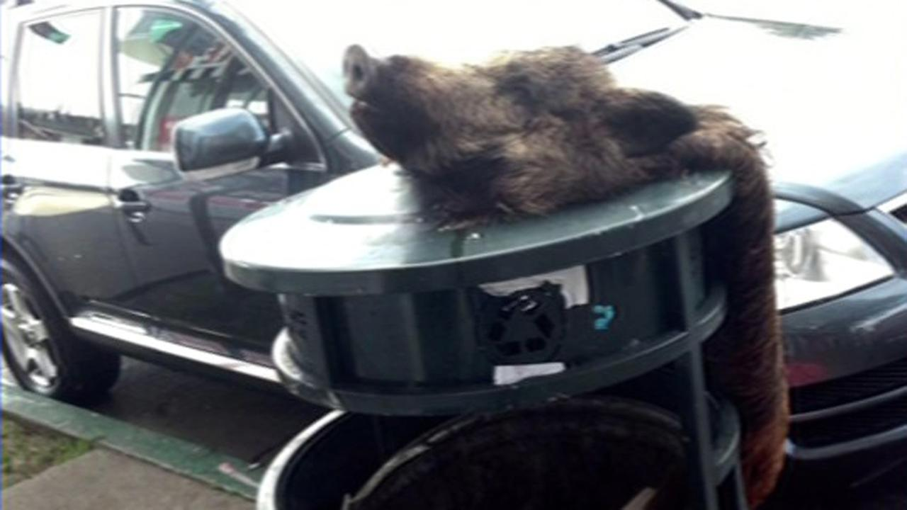 Boar heads were found near two vegetarian restaurants in Berkeley. (via @AnnaAbramson Twitter)