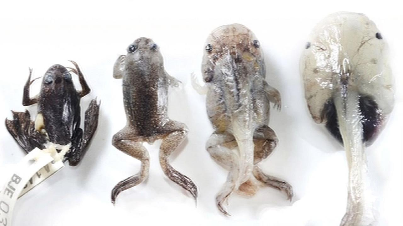 different stages of life cycle of Lake Oku Clawed Frogs
