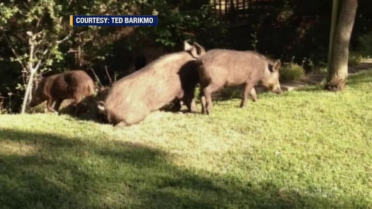 Wild pigs in San Jose