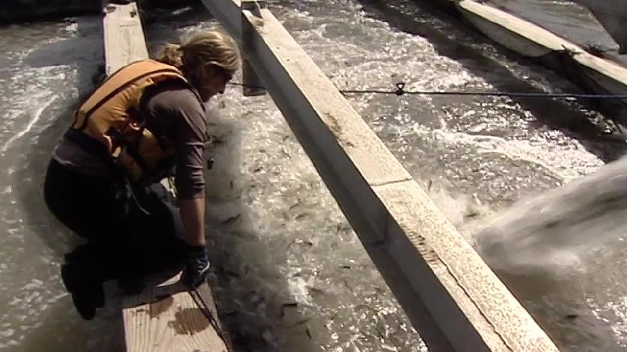 Winter-run Chinook salmon in a hatchery