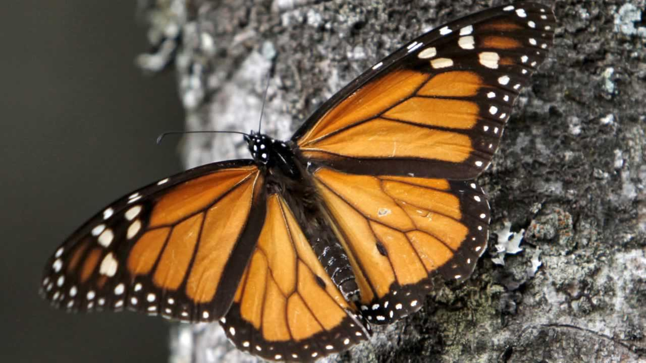 Monarch populations have dropped by 90 percent over the last two decades and federal officials are considering putting the butterfly on the endangered species list.