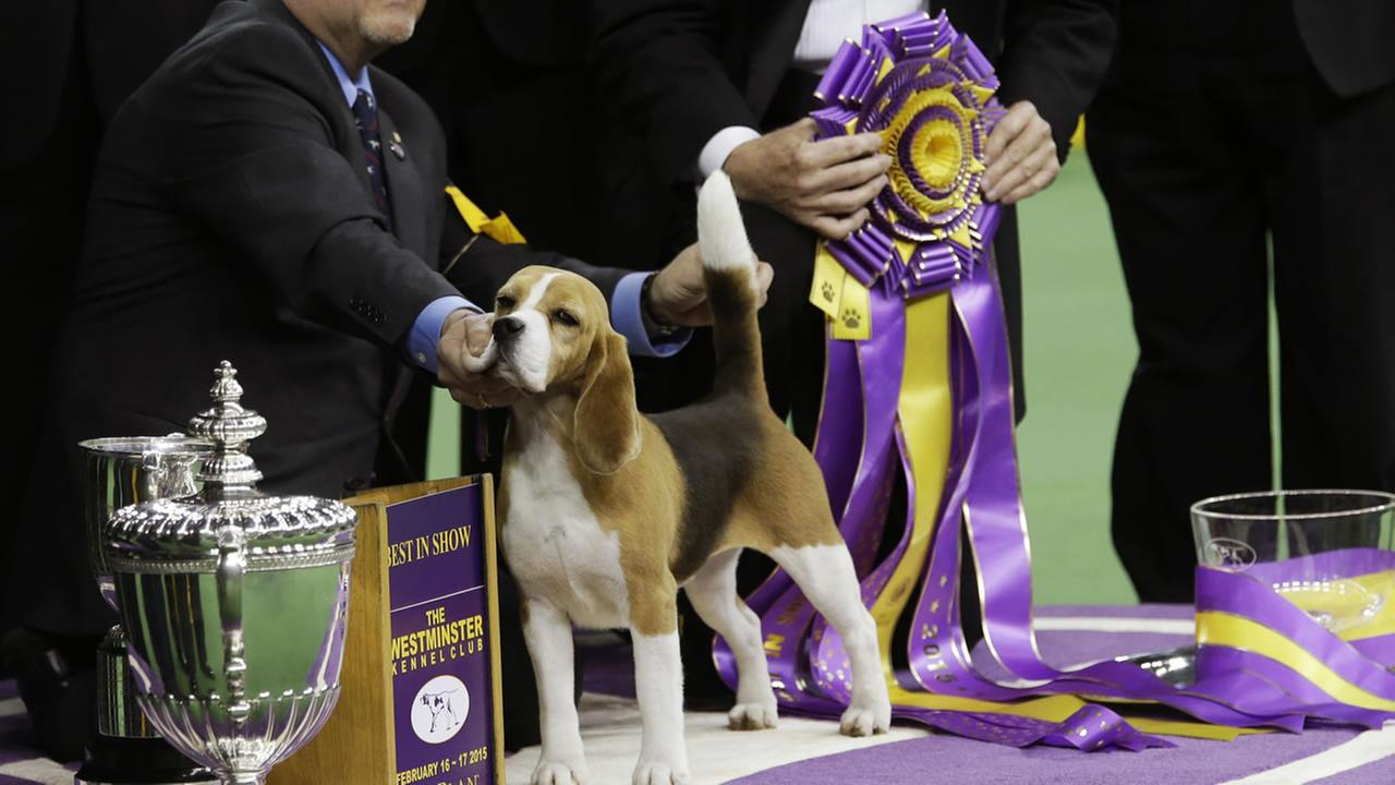 A beagle stands with owner