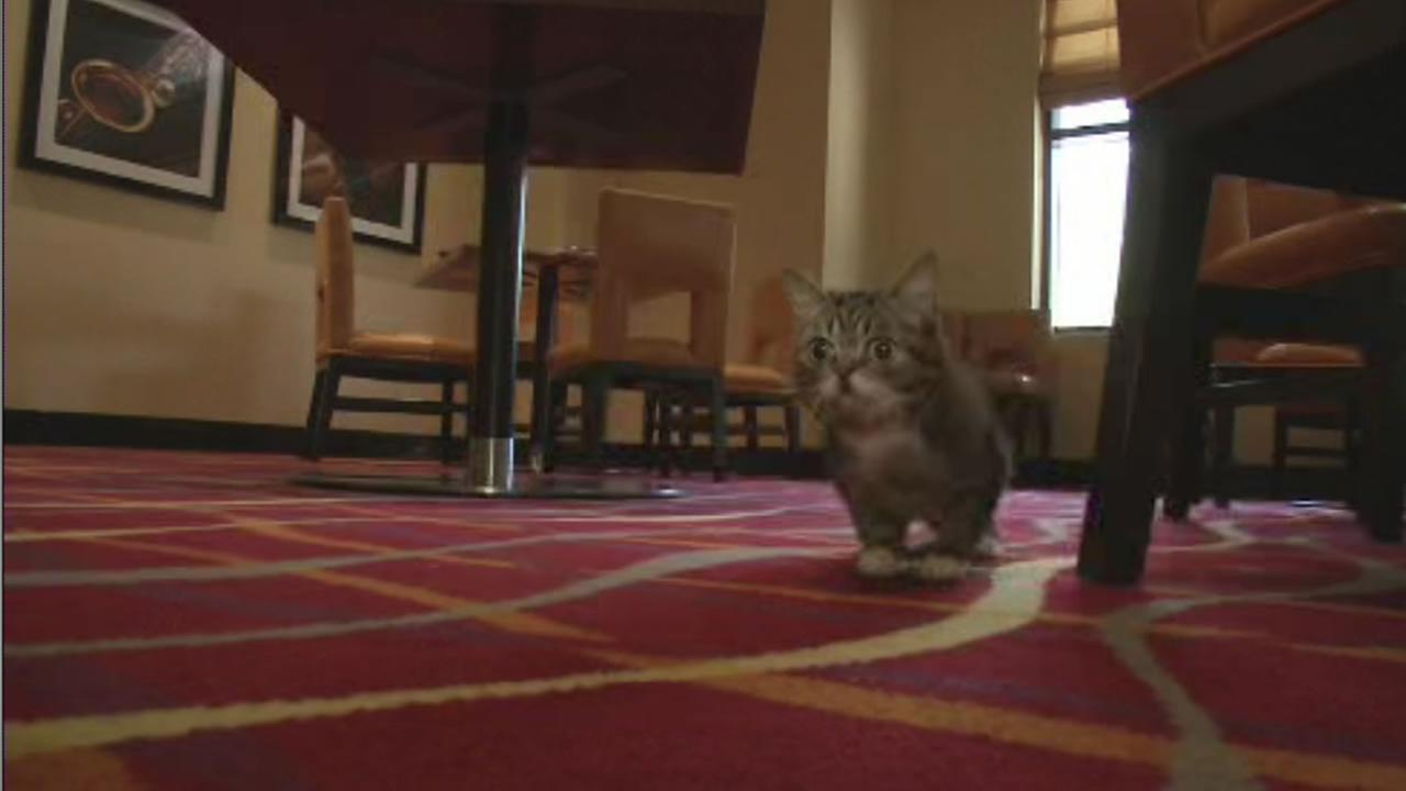 Internet sensation Lil Bub is visiting the Bay Area for the Oakland Internet Cat Video Festival.