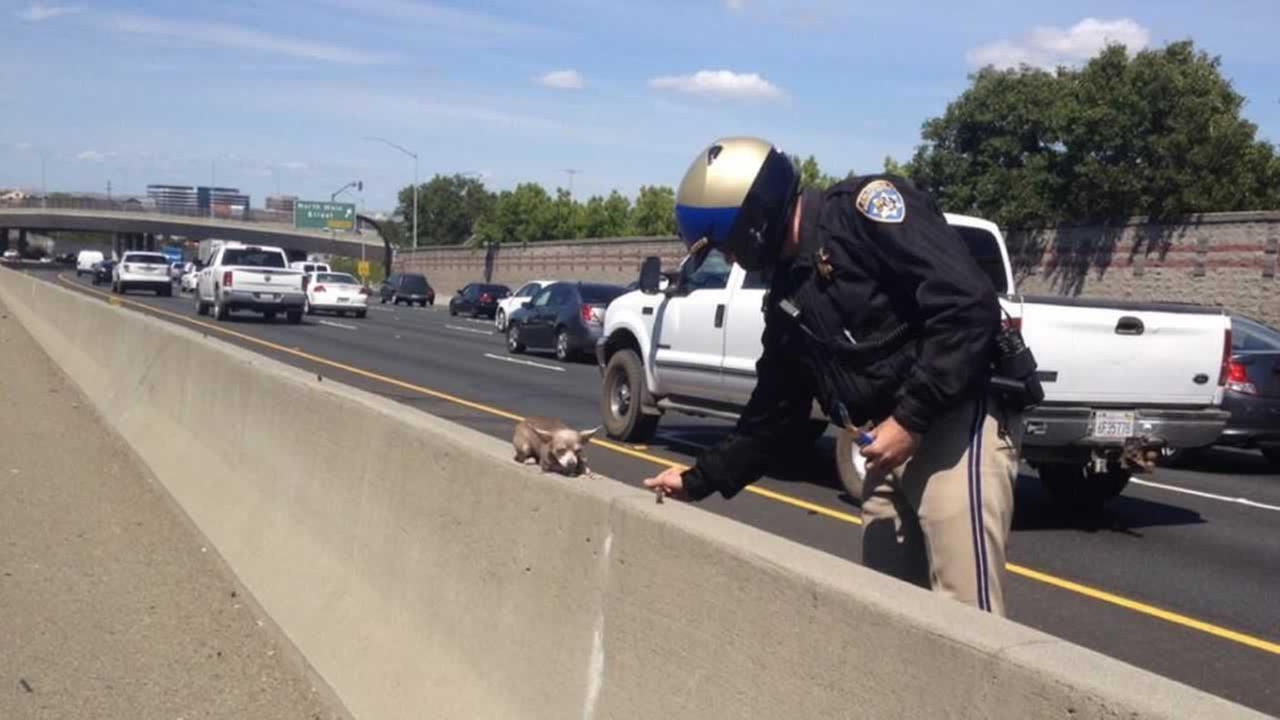 Theres been no word on how the little Chihuahua ended up on I-680, but the CHP did say the dog is now safe.