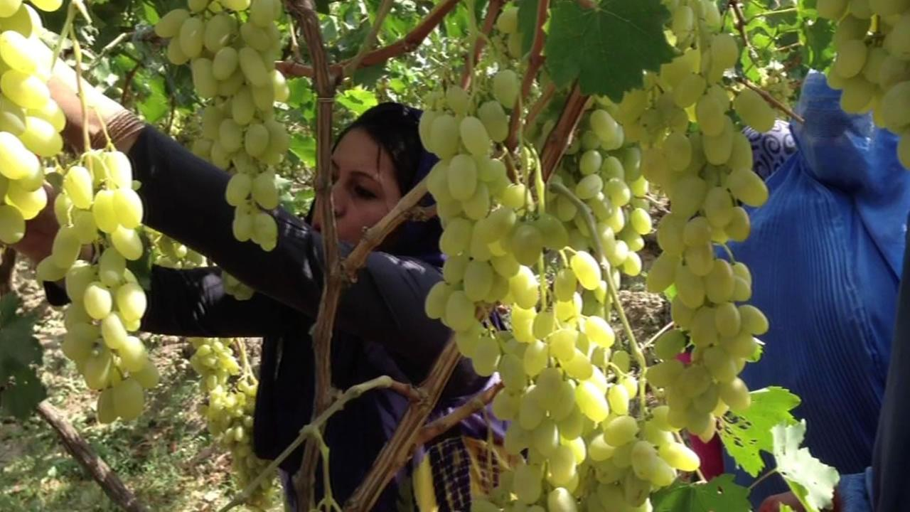 Afghan Women working with grapes