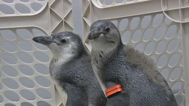 Three African penguin chicks will be making their debut at the California Academy of Sciences. <span class=meta></span>