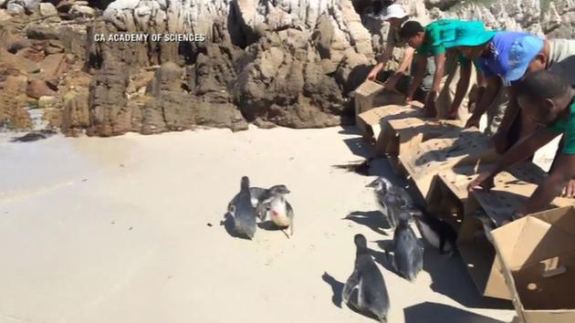 African penguins being released back into the ocean, <span class=meta></span>