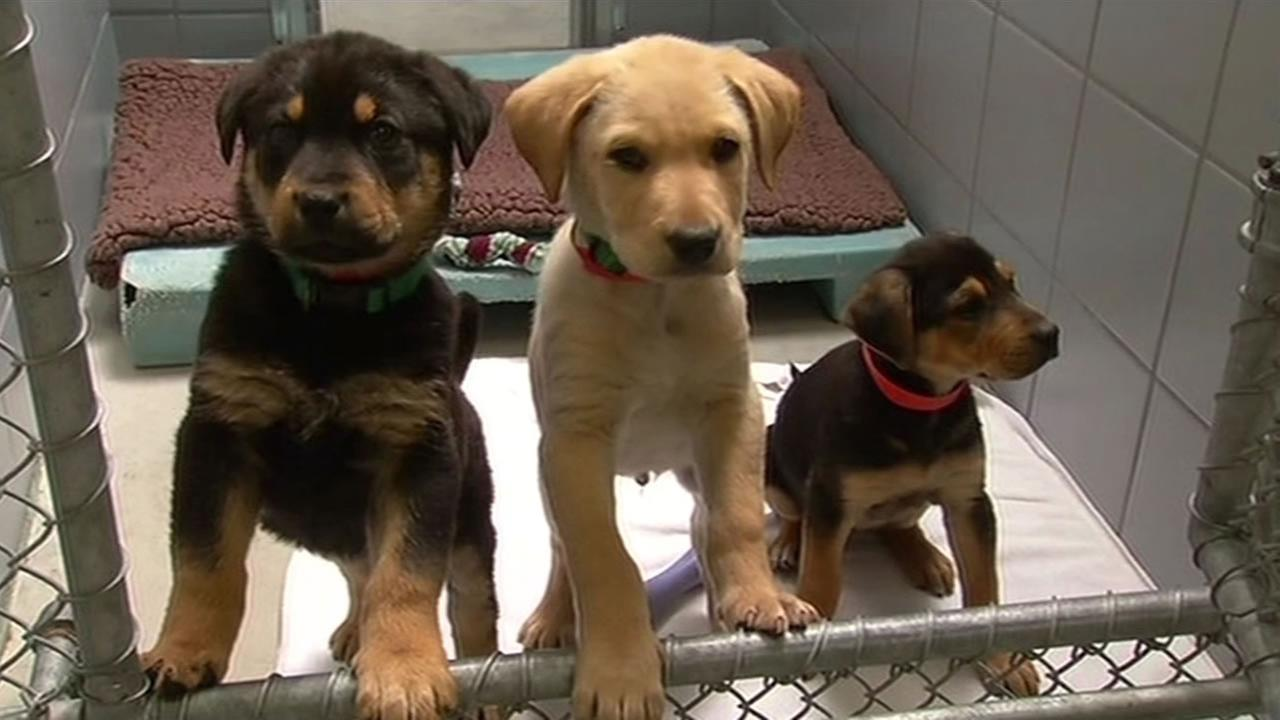 A man claiming to have found nine puppies in a box next to a dumpster in San Rafael brought them to the Marin Humane Society on March 3, 2015.