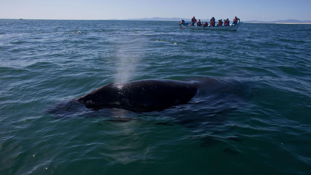 a grey whale calf expels air through its blowhole