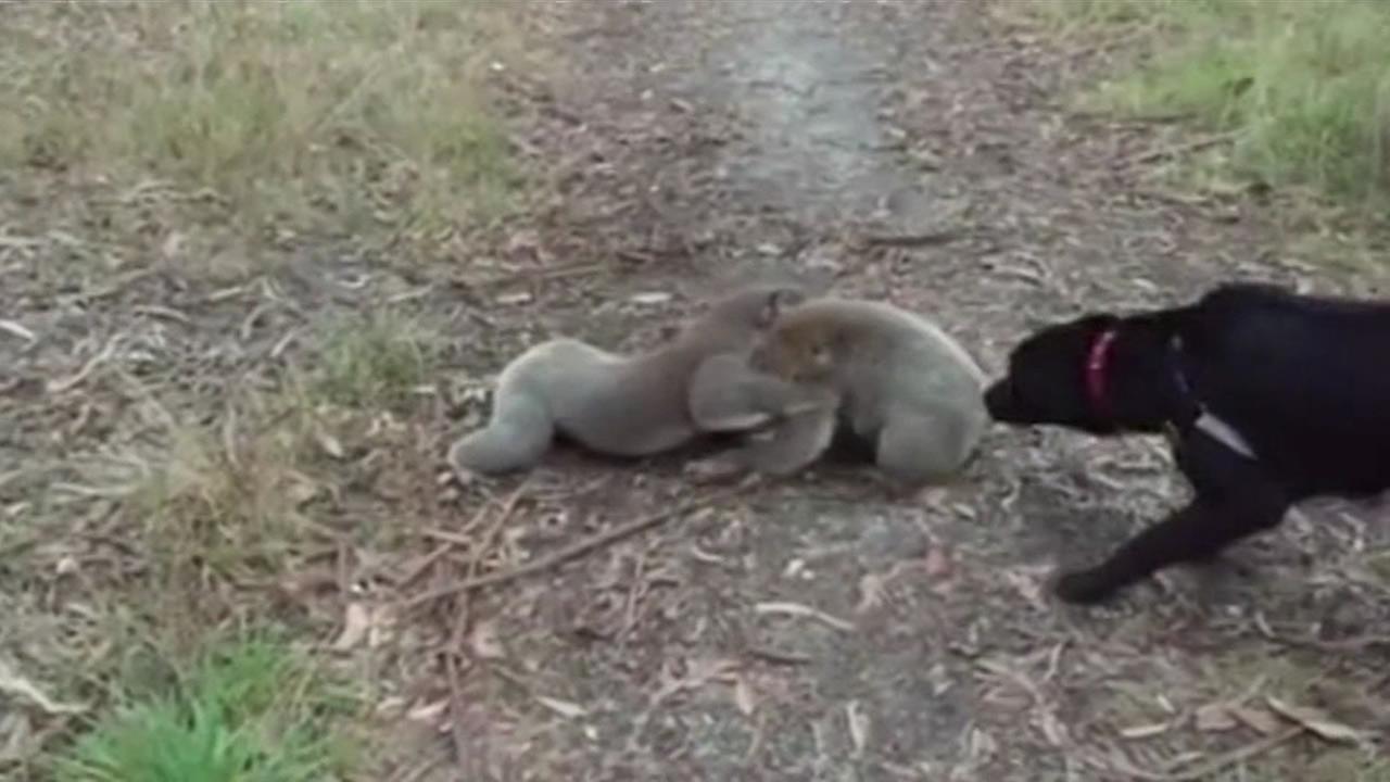 koalas wrestling