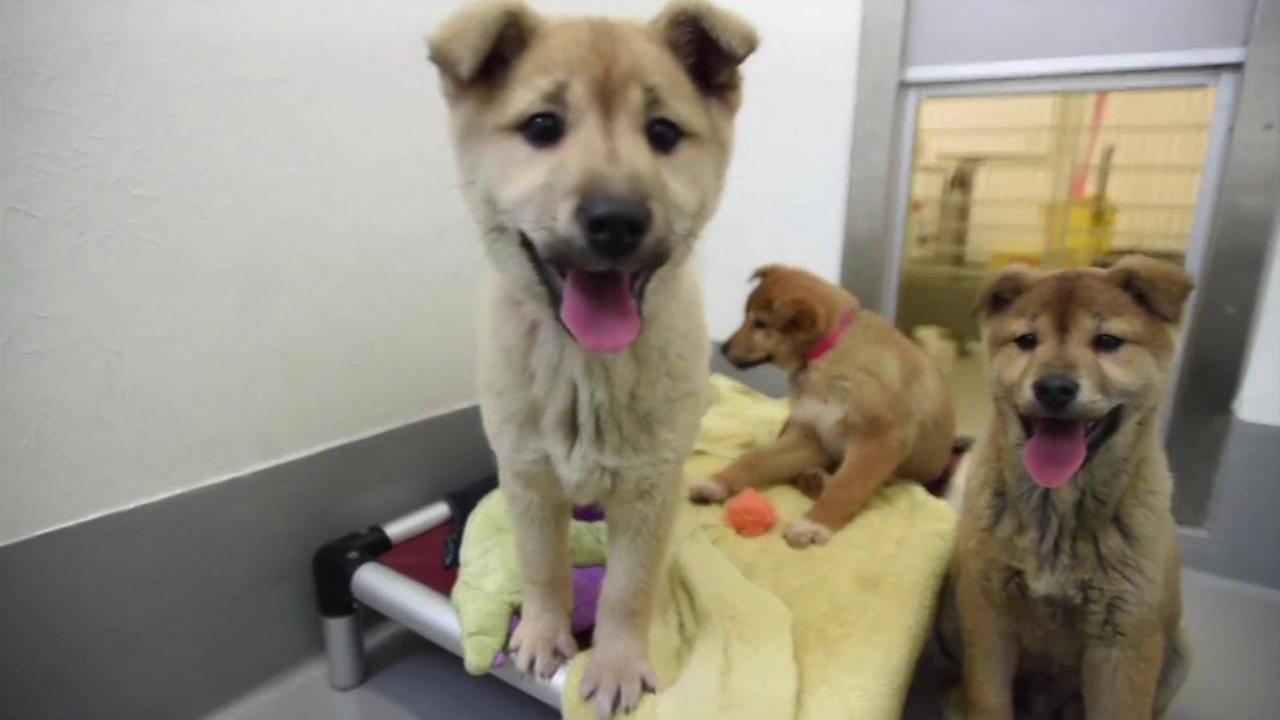 Pups rescued from a dog meat farm in South Korea arrived at the San Francisco SPCA on March 16, 2015.KGO-TV