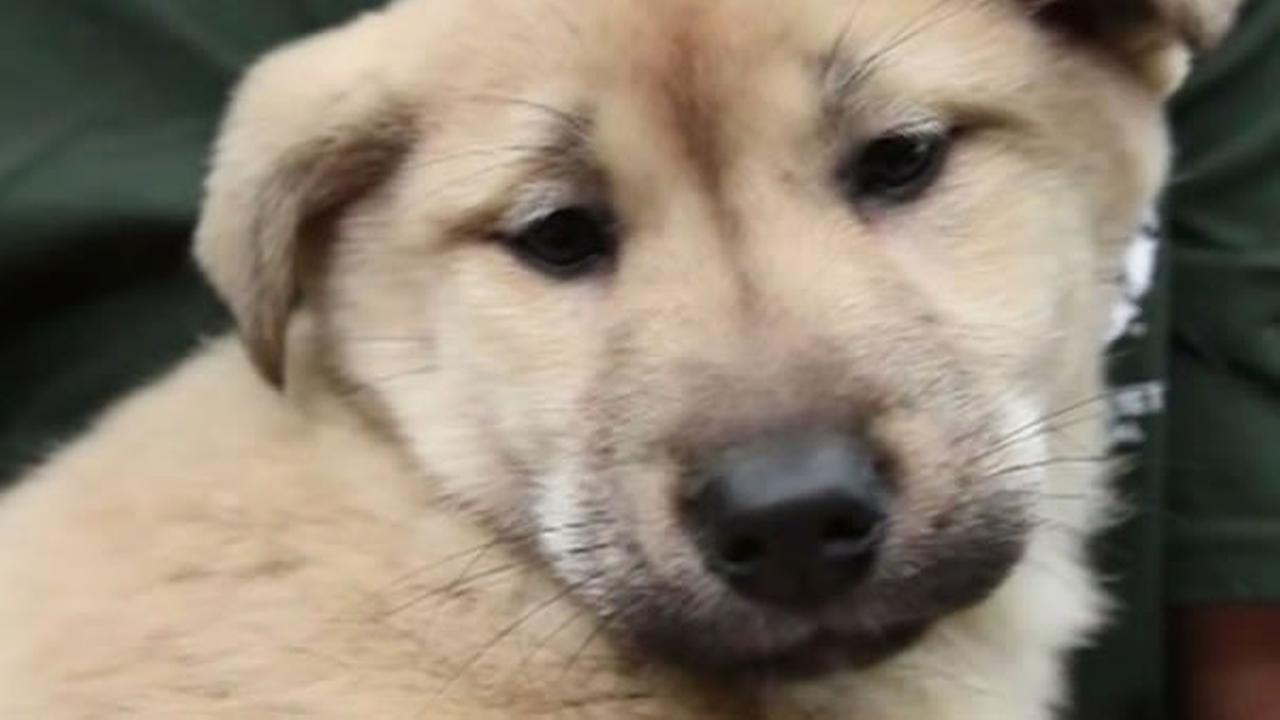 Pups rescued from a dog meat farm in South Korea arrived at the San Francisco SPCA on March 19, 2015.