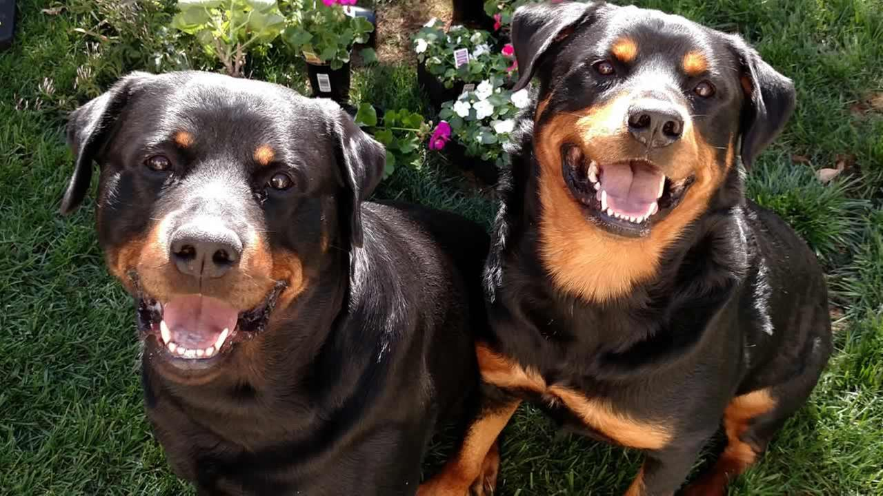 Meet Rampage and Chango! ABC7 News viewers and staff are sending in photos of their dogs in honor of National Puppy Day on March 23, 2015.Photo submitted by Erin/uReport