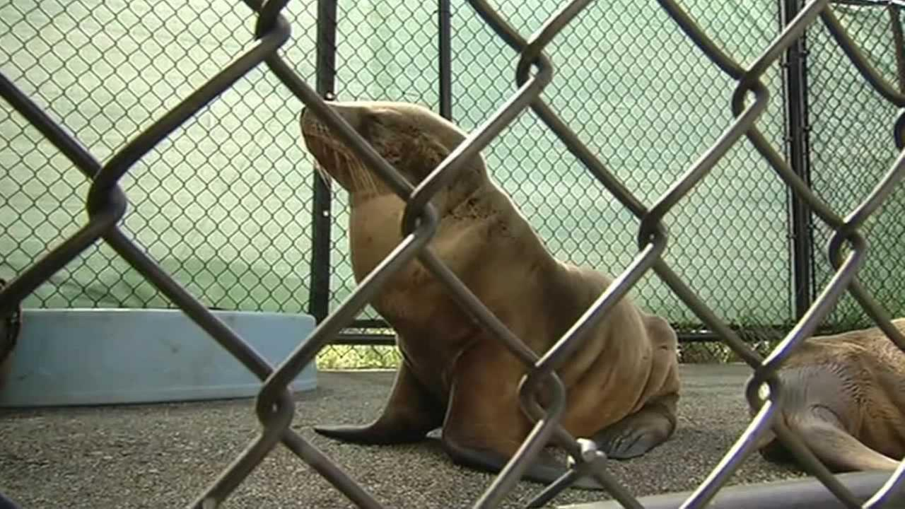 A sea lion pup was rescued near San Franciscos Lake Merced
