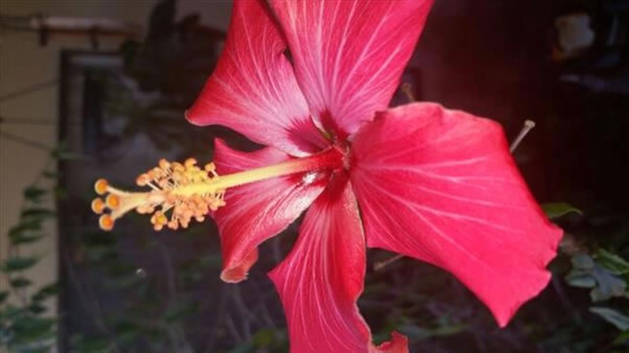 Happy hibiscus in San Leandro (Photo submitted via uReport)