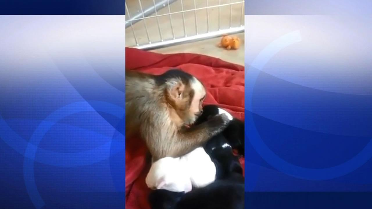 A tiny monkey petting a litter of puppies.