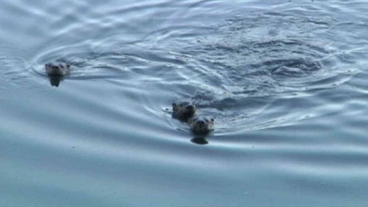 A first of its kind census has now provided scientific evidence that river otters are returning and thriving in the Bay Area.