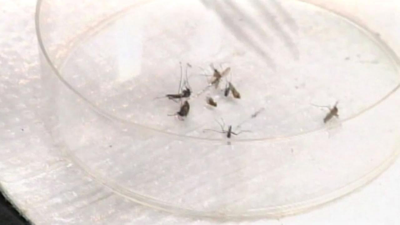 Mosquitoes in a petri dish.