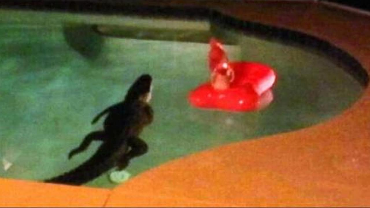 A Florida couple got the shock of their lives when they heard a noise in their backyard and discovered an eight-foot alligator swimming in their pool.