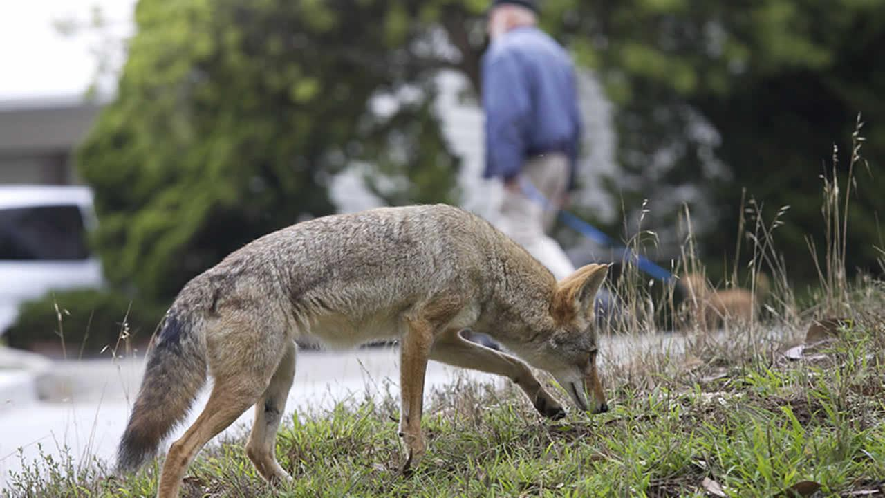In this Sept. 2009 handout photo provided by Janet Kessler, a coyote is shown on a public street in San Francisco. (AP Photo/Janet Kessler)
