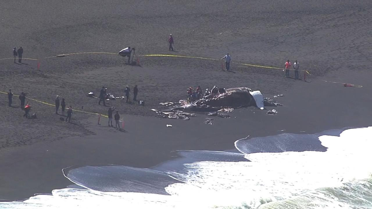 A second whale washed ashore on Sharp Park Beach in Pacifica on Monday, May 4, 2015.