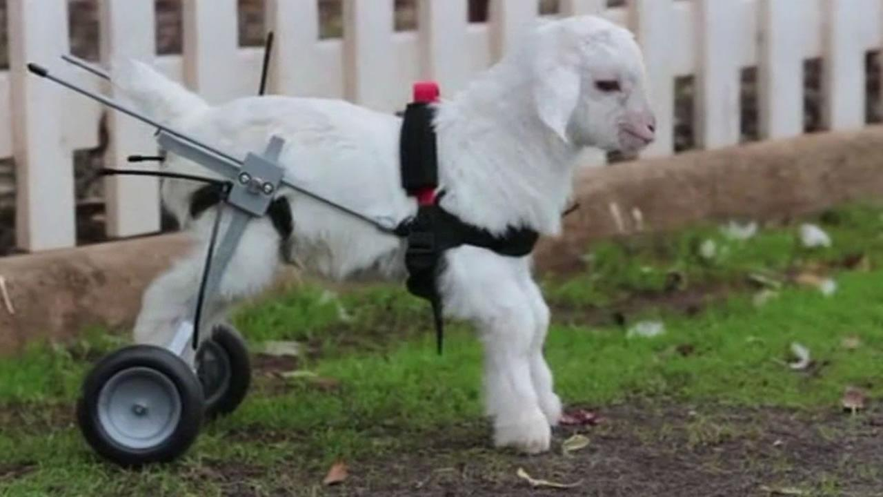 Disabled goat gets wheelchair, takes first steps