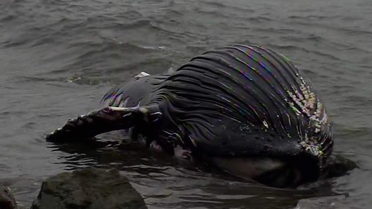 dead baby humpback whale at Pillar Point
