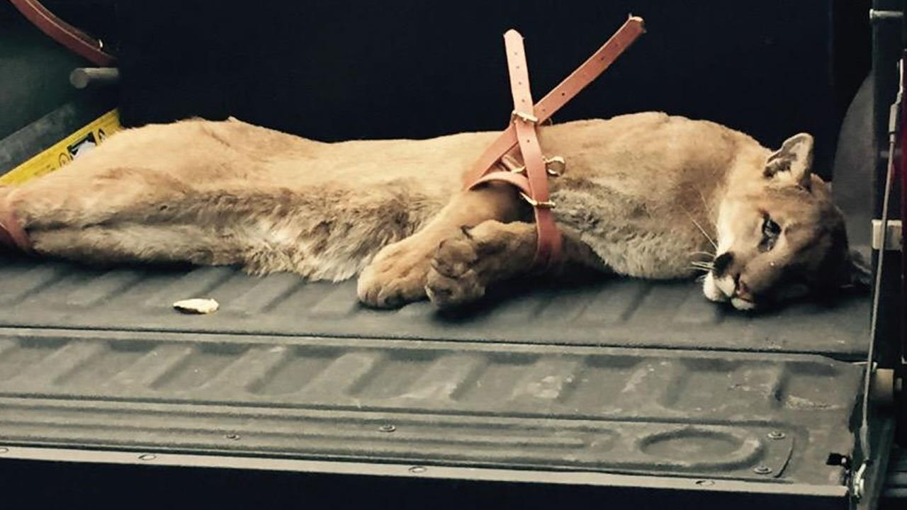 A mountain lion was successfully tranquilized after several sightings in San Mateo, Calif. on May 18, 2015.