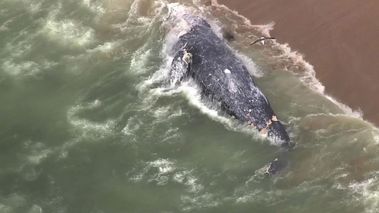 A whale washed up on shore near Kelly Beach in Half Moon Bay, Calif. on Tuesday, May 19, 2015.