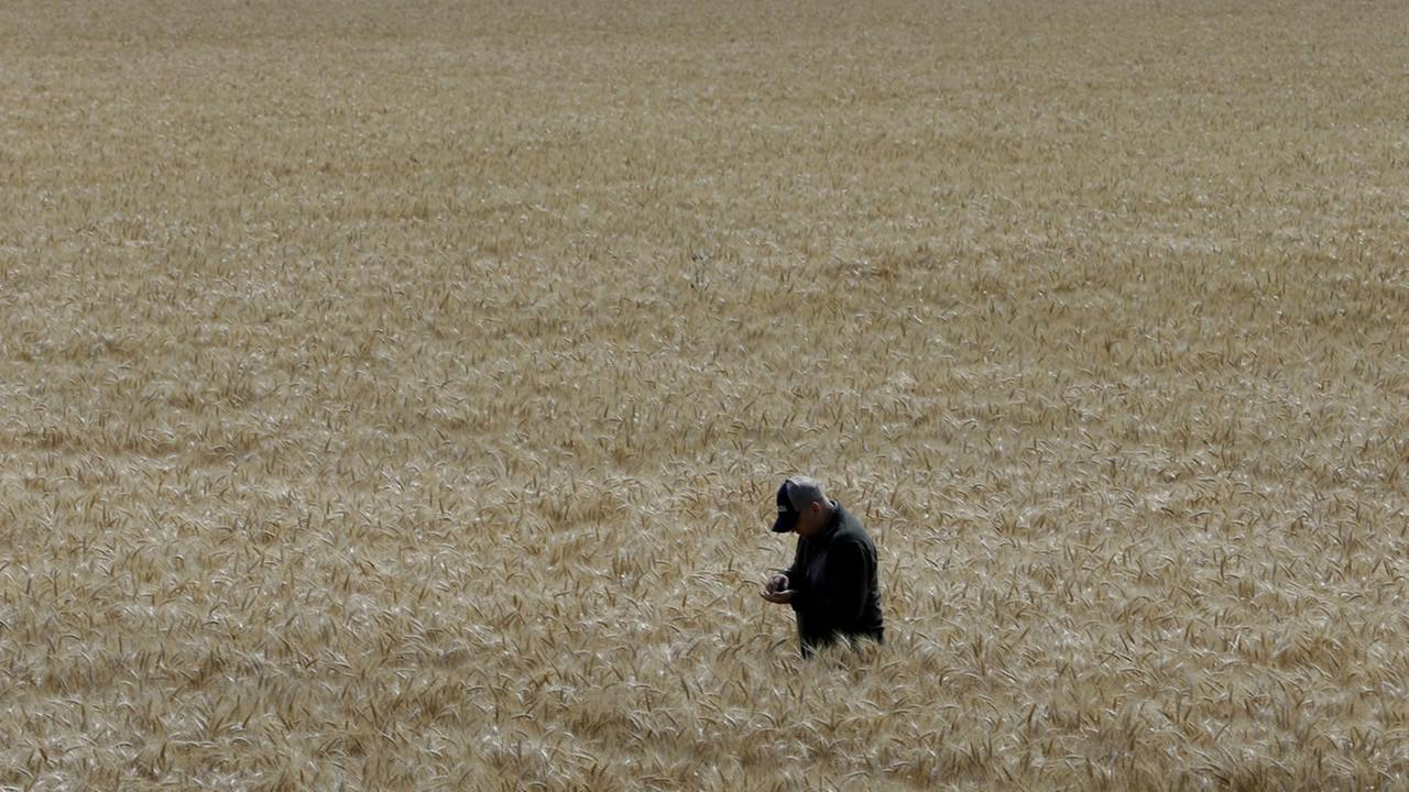 Gino Celli inspects wheat nearing harvest on his farm near Stockton, Calif.