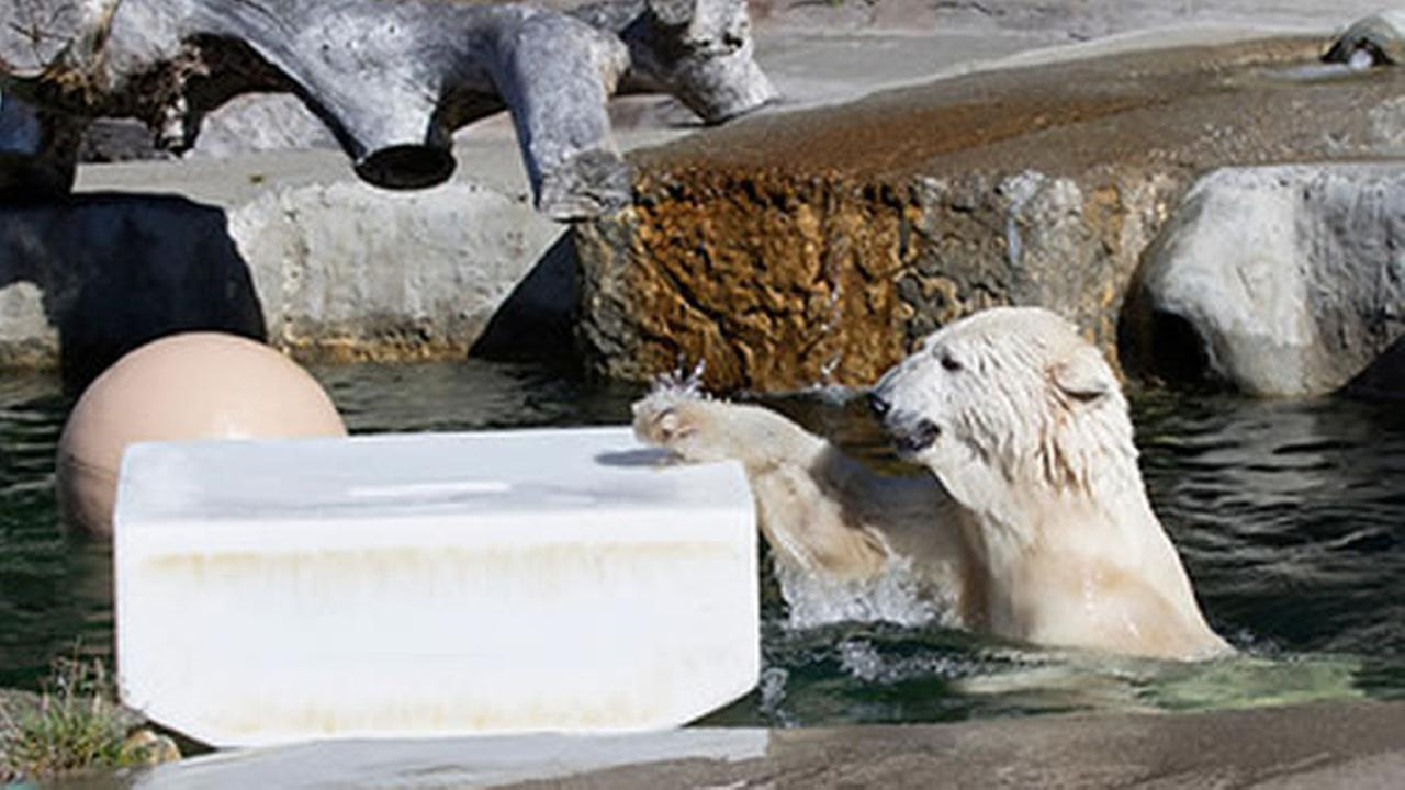 Pike, the San Francisco Zoos 32-year-old female polar bear, passed away on Friday, May 29, 2015 of complications resulting from multiple geriatric medical conditions.