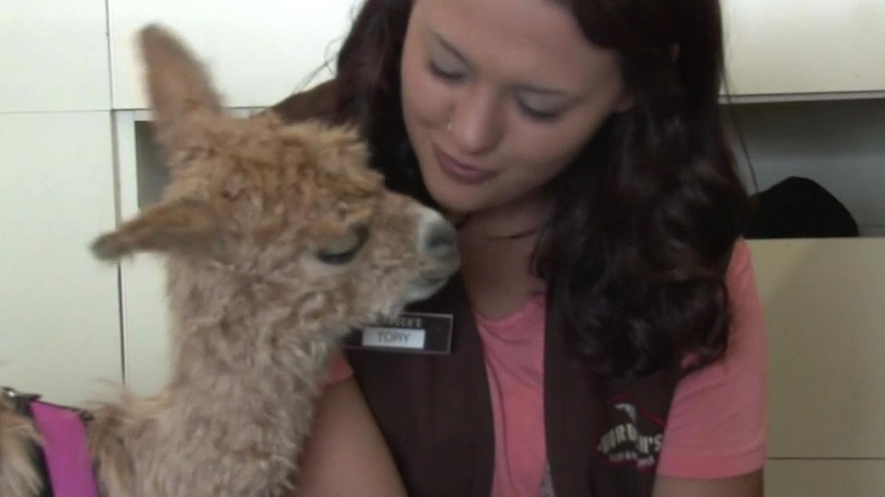 Kathy, the newborn alpaca, was orphaned at birth. So, her human mom Tory Augustine takes her to work everyday to make sure she gets the care she needs.